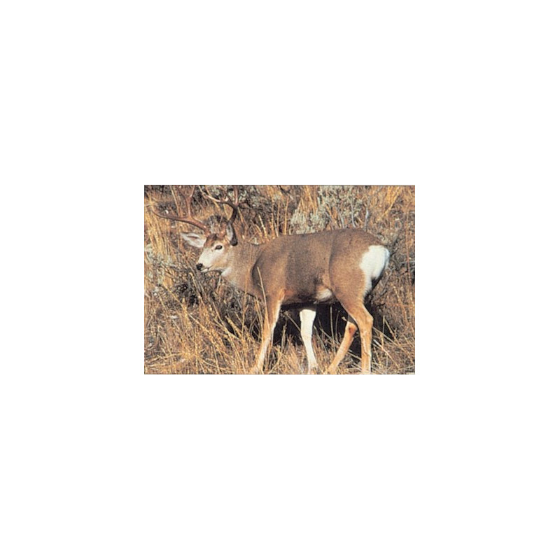 109 mule deer