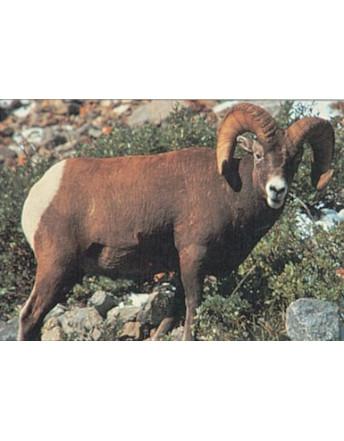 112 bighorn sheep