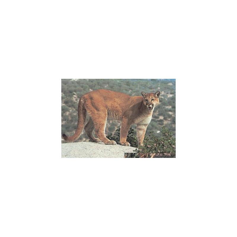 113 cougar