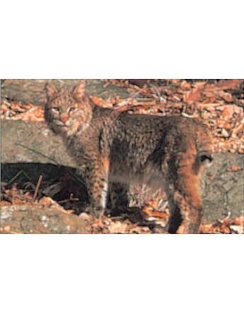 116 bobcat
